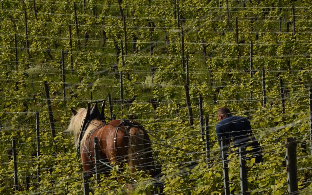 Dada au travail dans les vignes de Vaudijon